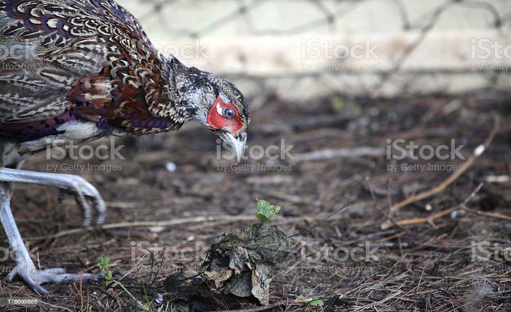 Chinese ringneck pheasant profile royalty-free stock photo