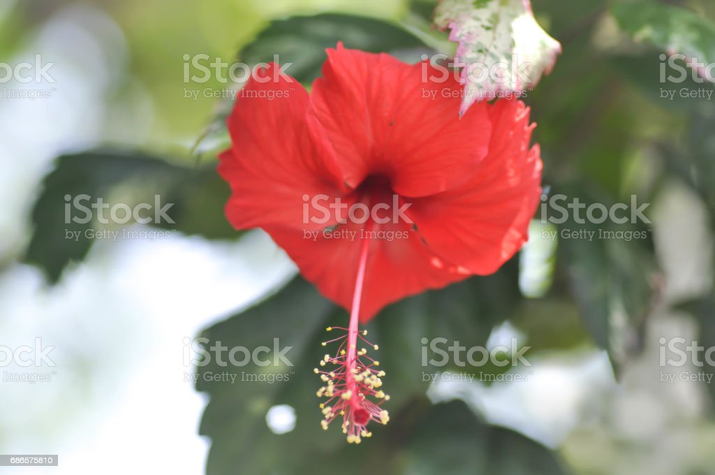 Chinese rose or Hibiscus royalty free stockfoto