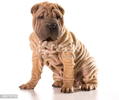 chinese shar pei stock photo more pictures of animal istock. Black Bedroom Furniture Sets. Home Design Ideas