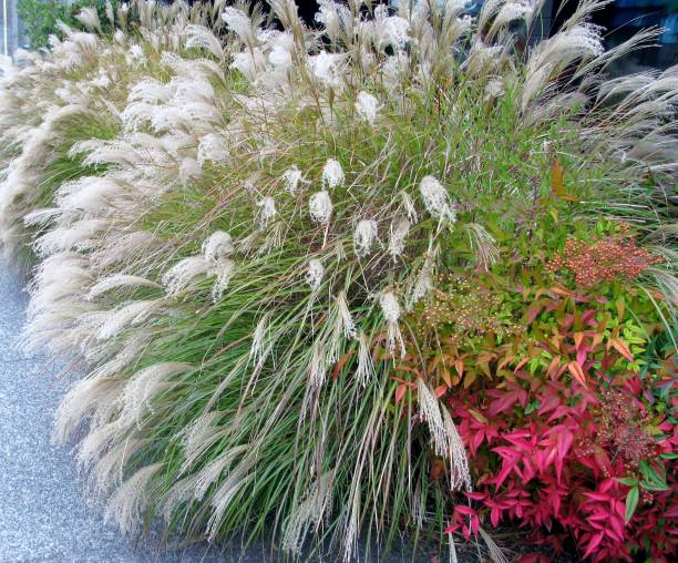 chinese silver grass early hybrids and heavenly bamboo shrub - miscanthus sinensis foto e immagini stock