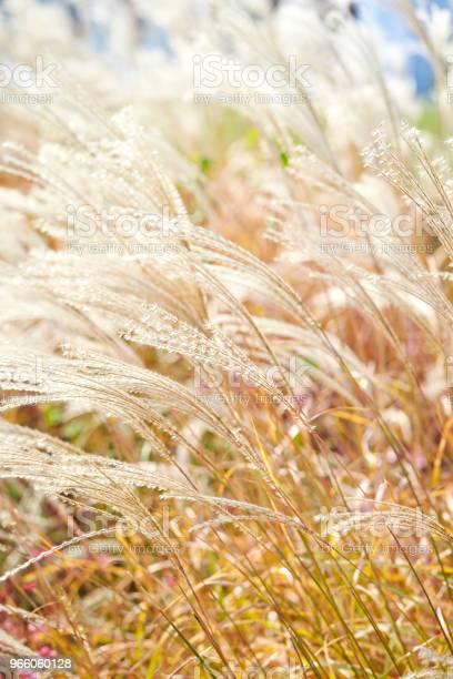 Kinesiska Silver Gräs-foton och fler bilder på Fotografi - Bild