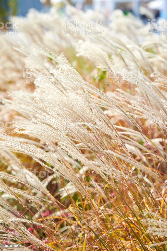 Kinesiska silver gräs - Royaltyfri Fotografi - Bild Bildbanksbilder