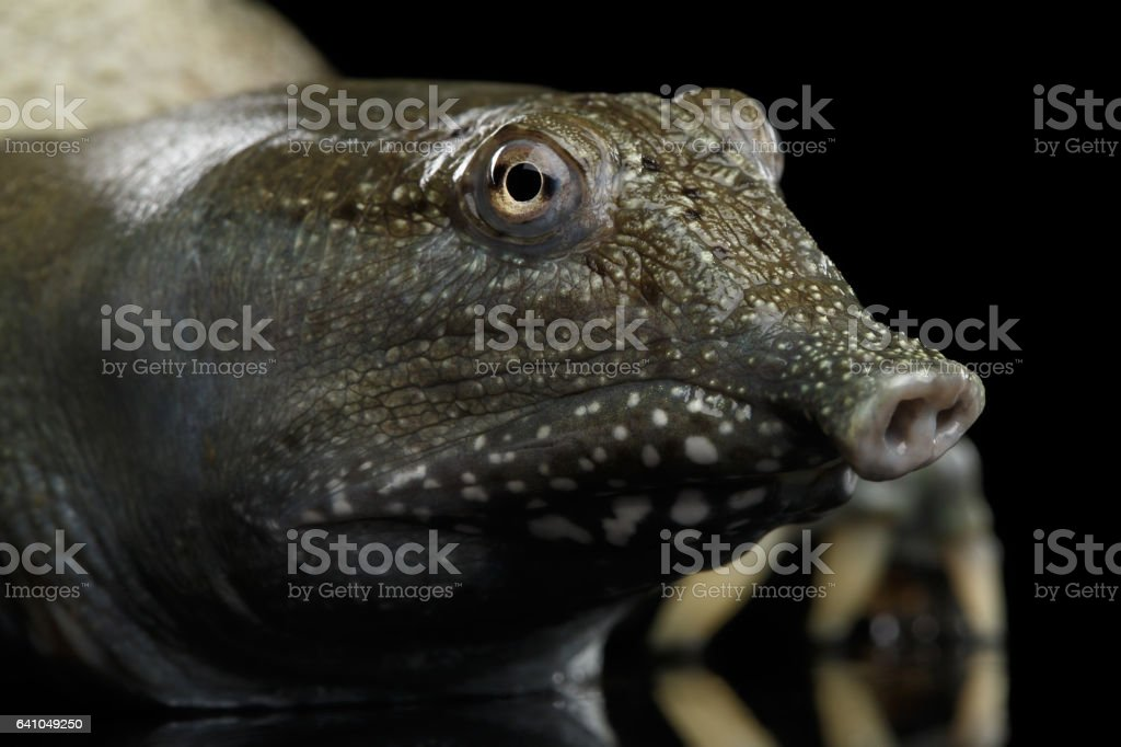 Chinese Soft Shell Turtle isolated on Black background stock photo