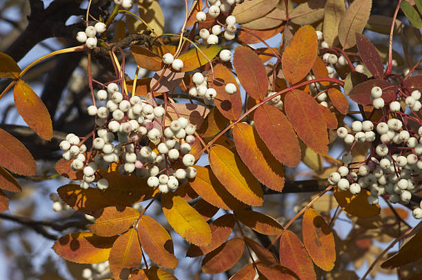 chinese white-berry rowan tree russet autumn leaves - whiteway stock photos and pictures