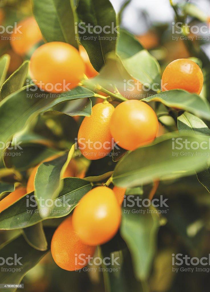 chinese tangerine - kumquat stock photo