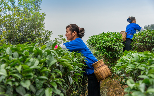Chinese tea picker working