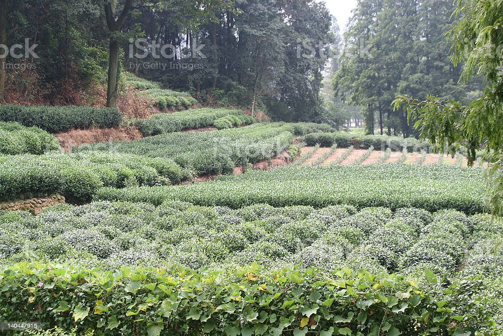 Chinese Tea Plantation royalty-free stock photo