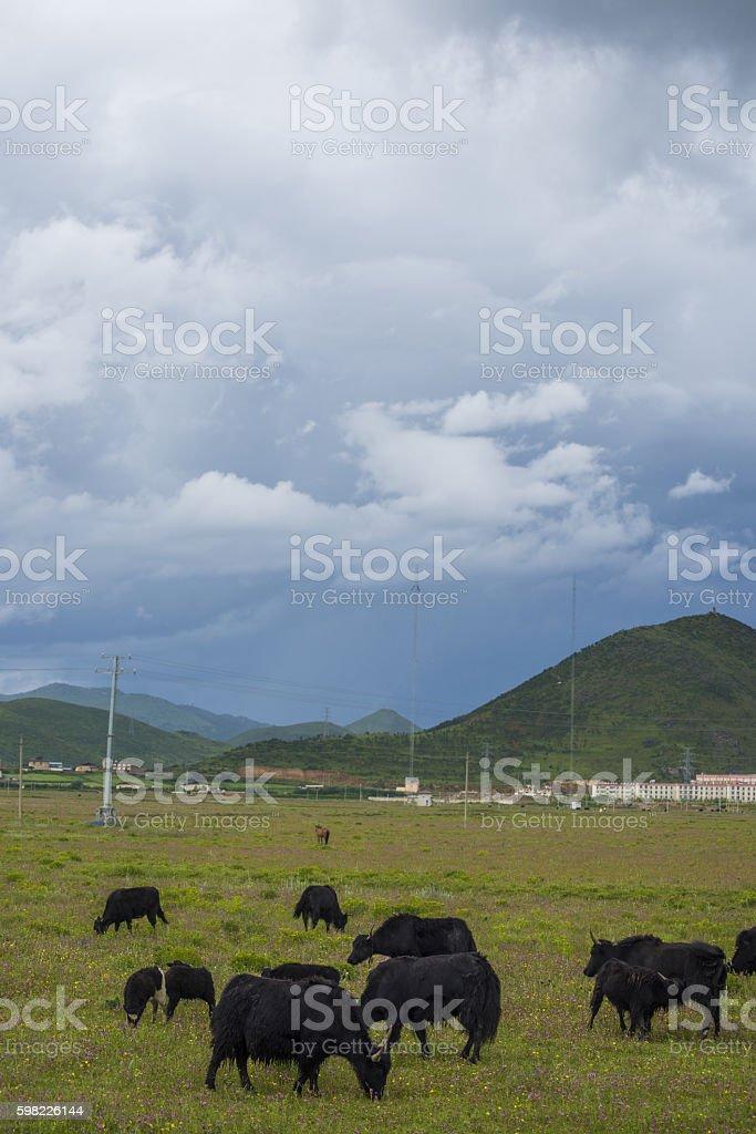 Chinese Tibetan Yaks foto royalty-free
