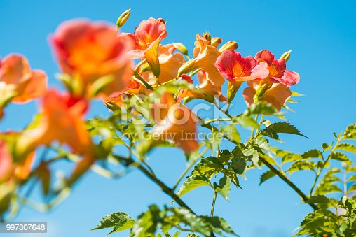 istock Chinese trumpet creeper (Campsis grandiflora) and Blue sky 997307648