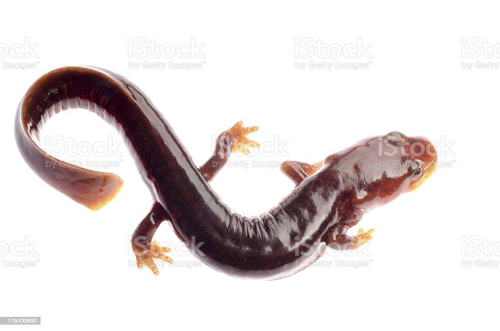 Chinese tsitou salamander newt stock photo