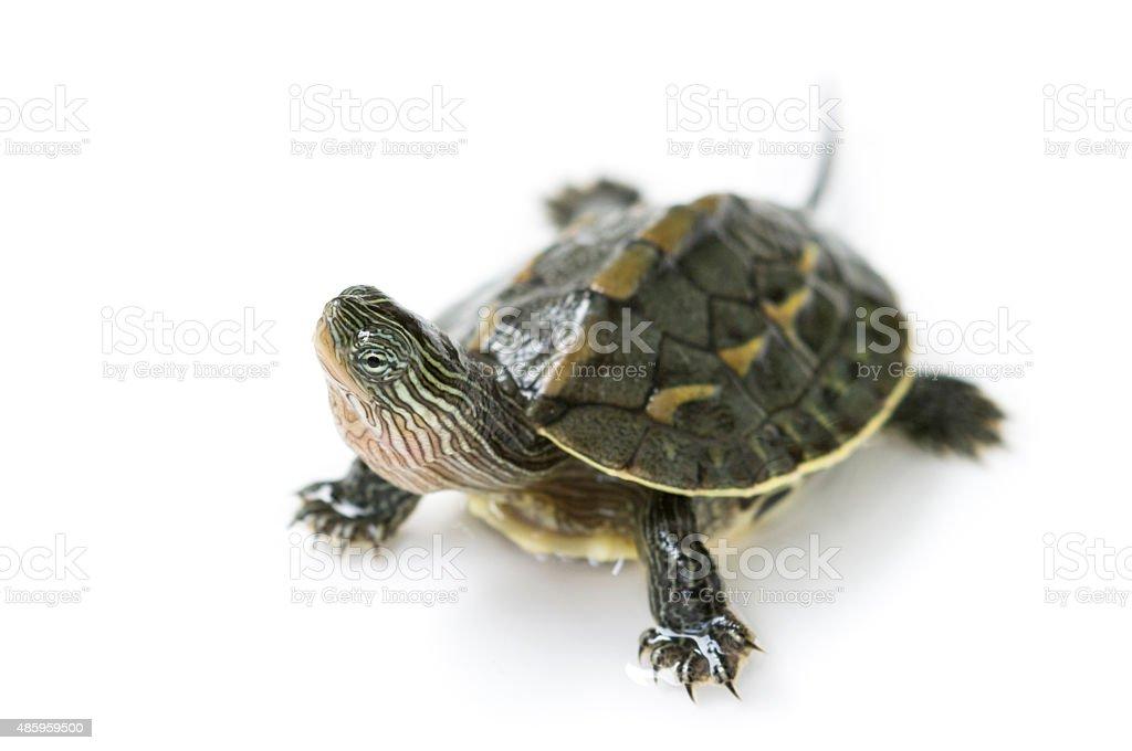 chinese turtle stock photo
