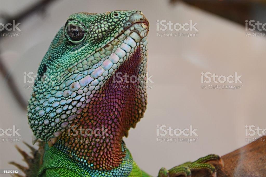 Chinese water dragon head Physignatus cocincinus looking forward from large terrarium stock photo