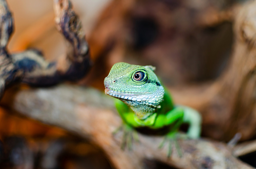 Chinese water dragon, in Latin physignathus cocincinus. Exotic animals in the artificial habitat. A cold blooded animal in the terrarium.