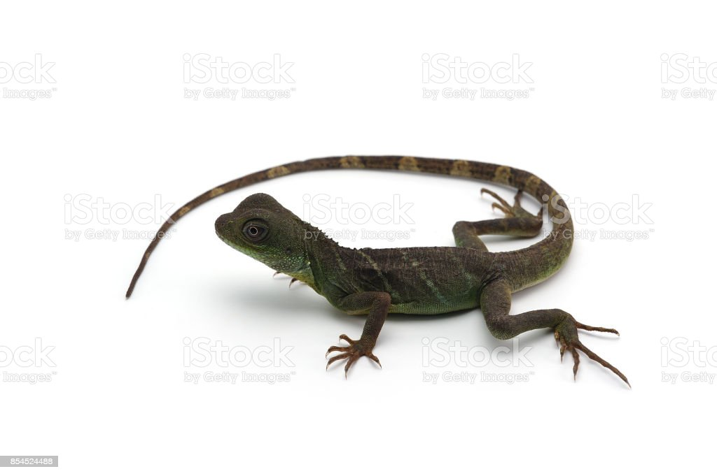 Chinese Water Dragon isolated on white background stock photo