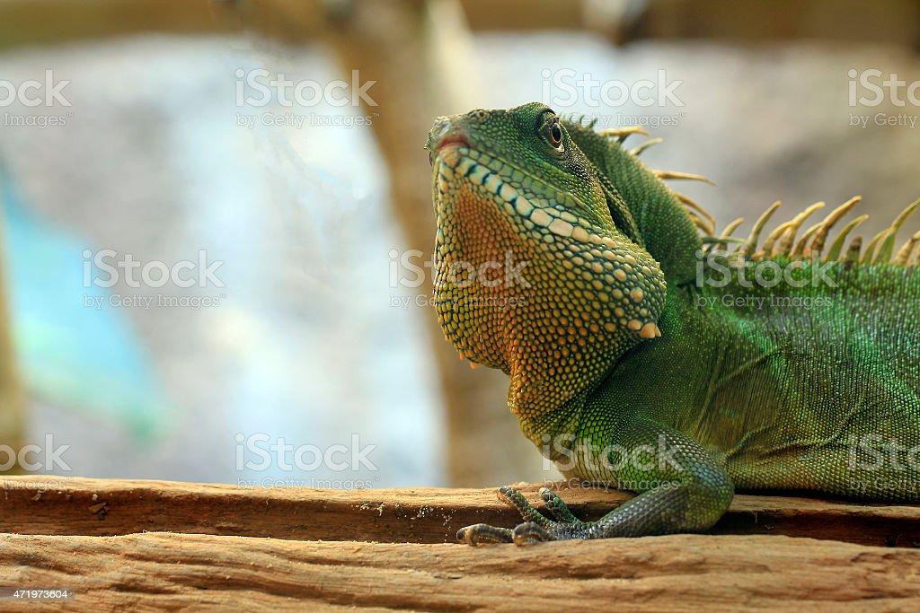 Chinese Water Dragon stock photo