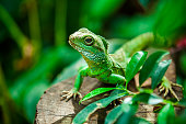 View of a wild iguana through foliage resting on a tree branch.  Iguanas are a common sight in Costa Rica.