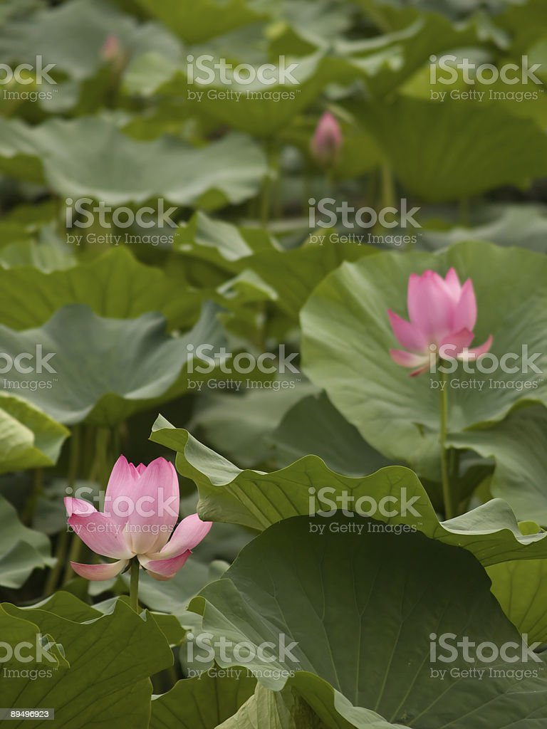 Chinese water lilies royalty free stockfoto