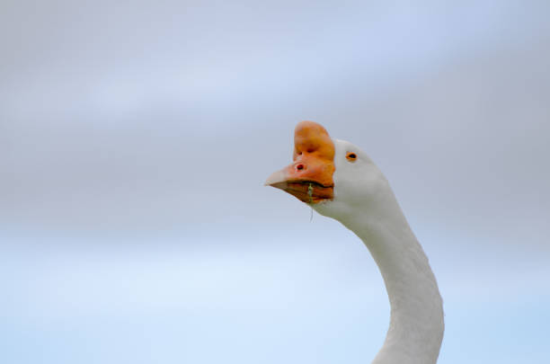 Chinese White Goose Head stock photo