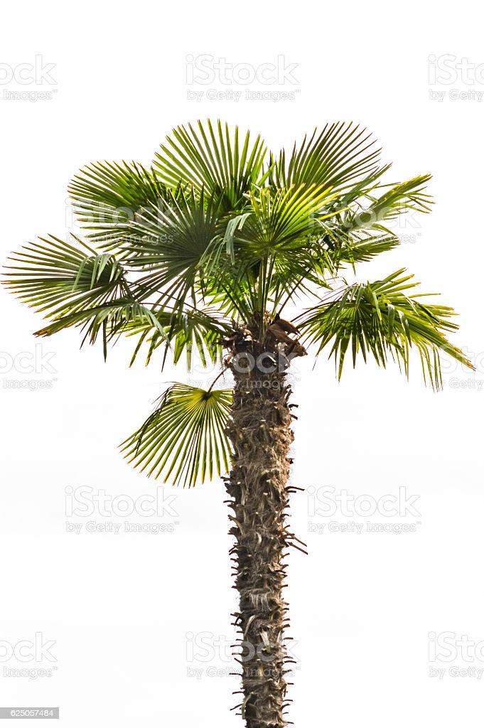 Chinese windmill palm, windmill palm or Chusan palm stock photo