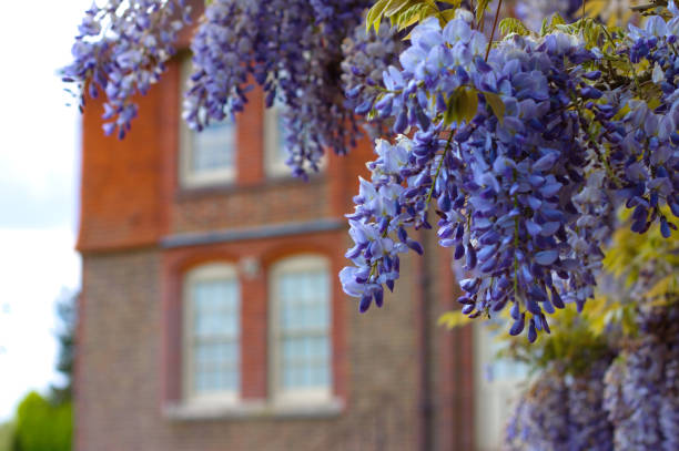 Chinese Wisteria (Wisteria sinensis) in an English garden in spring. stock photo