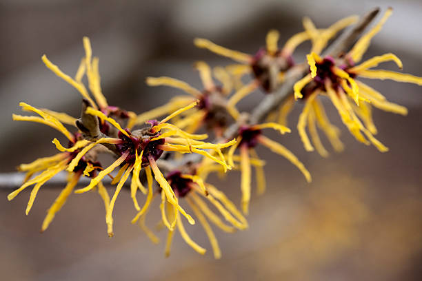 Chinese witch hazel close-up Chinese witch hazel in a Japanese garden saxifragales stock pictures, royalty-free photos & images