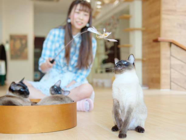 Chinese young woman play with several siamese cats at home in sunny picture id1181783489?b=1&k=6&m=1181783489&s=612x612&w=0&h=2bw65zapeojqiqtxsryo0hunoyglenig k6 fwmm4no=