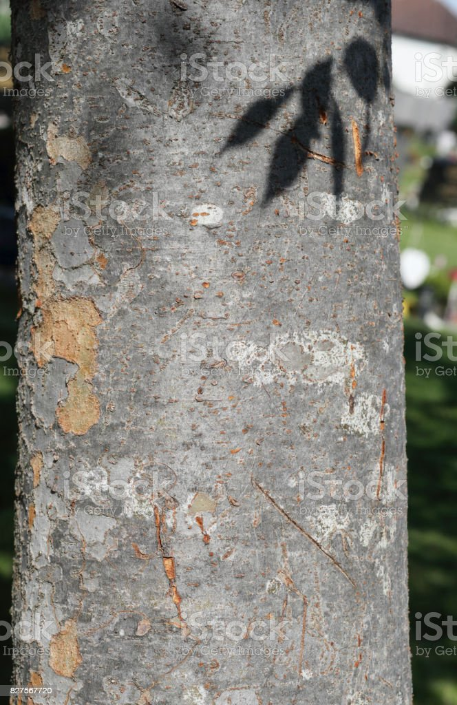 Chinese Zelkova sinica tree trunk bark texture close up stock photo