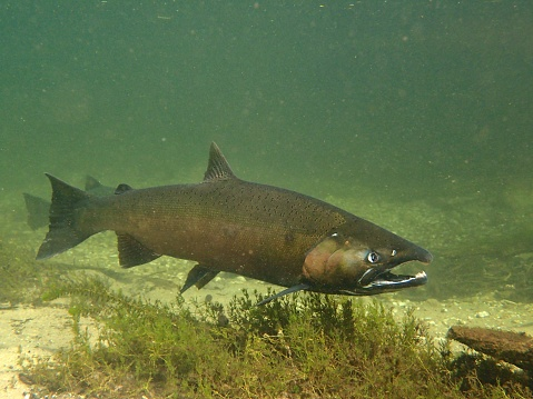 salmon swim up the Crystal River in Northern Michigan to spawn