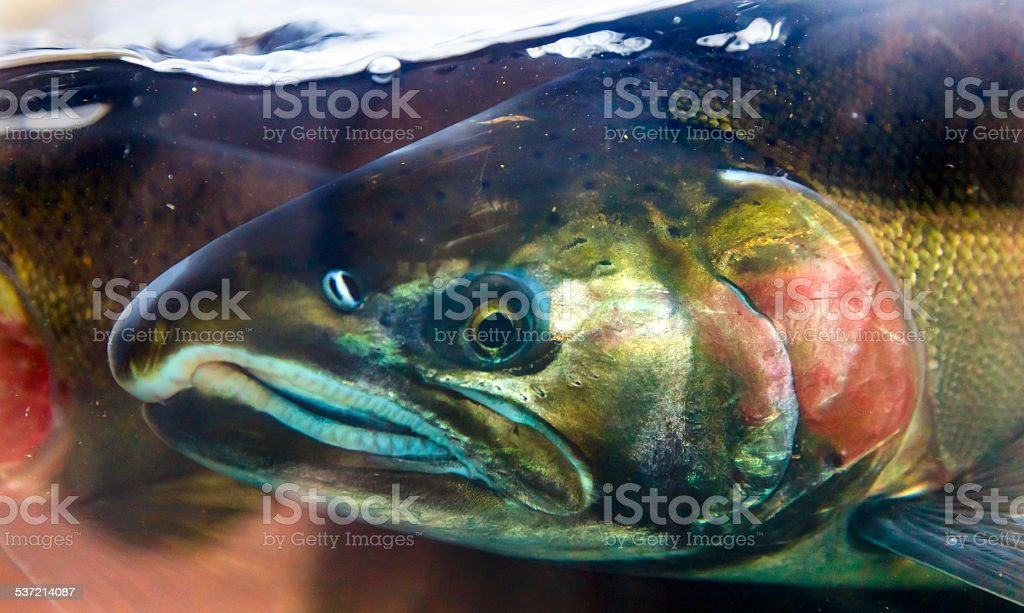 Chinook Coho Salmon Close Up Issaquah Hatchery Washington State stock photo