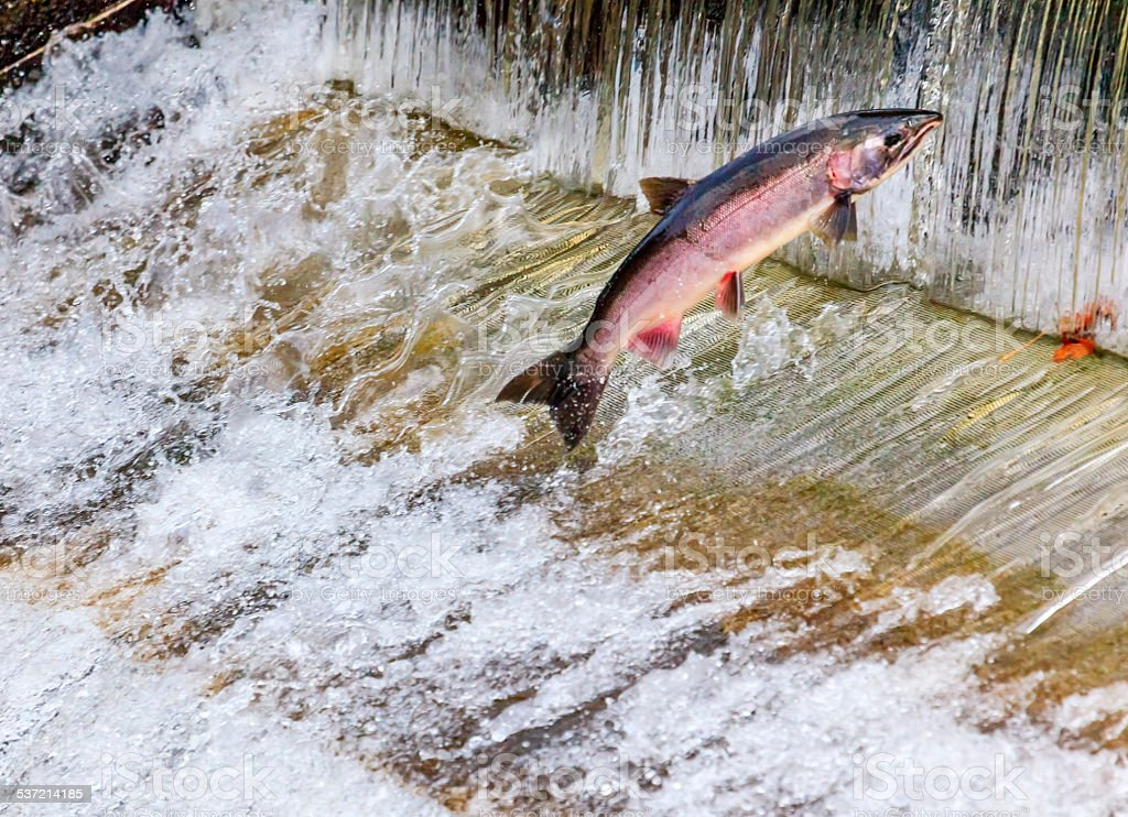 Chinook Coho Salmon Jumping Issaquah Hatchery Washington State stock photo