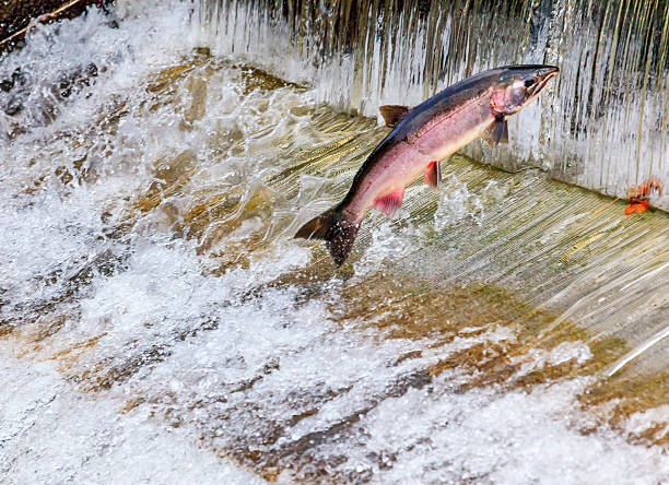 chinook coho salmon jumping issaquah hatchery washington state - chinook salmon stock photos and pictures