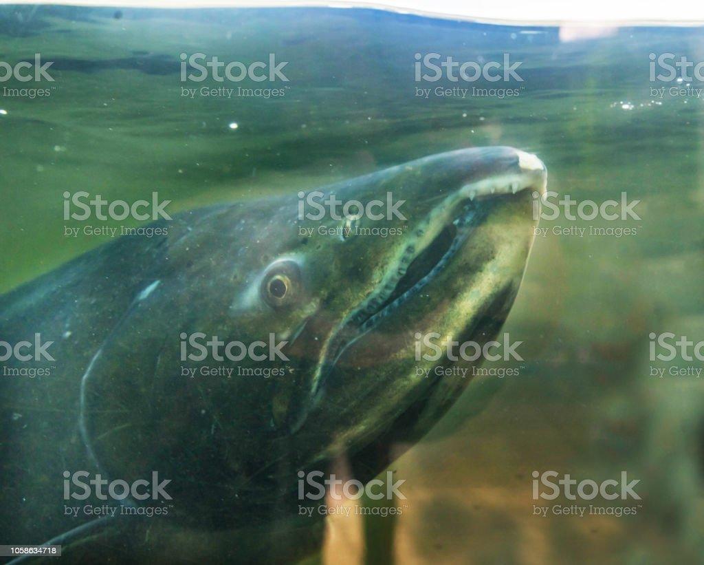 Chinook Salmon Close Up Issaquah Hatchery Washington State stock photo