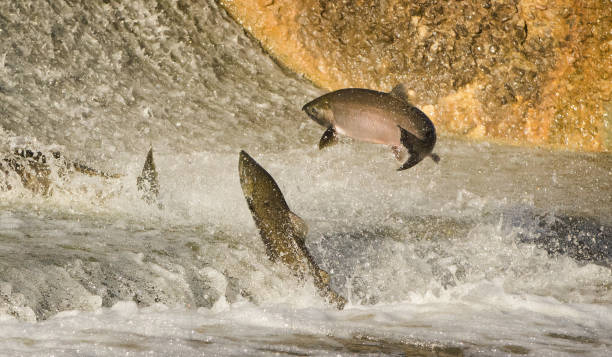 chinook salmon jumping at dam - chinook salmon stock photos and pictures
