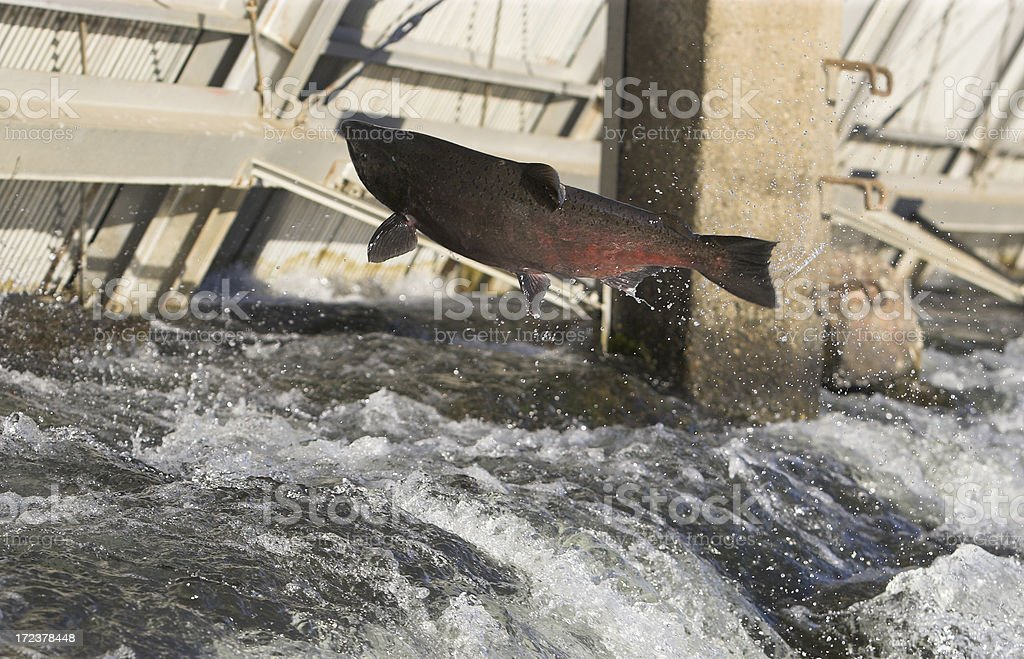 Chinook Salmon Jumping Ladder River Fish stock photo