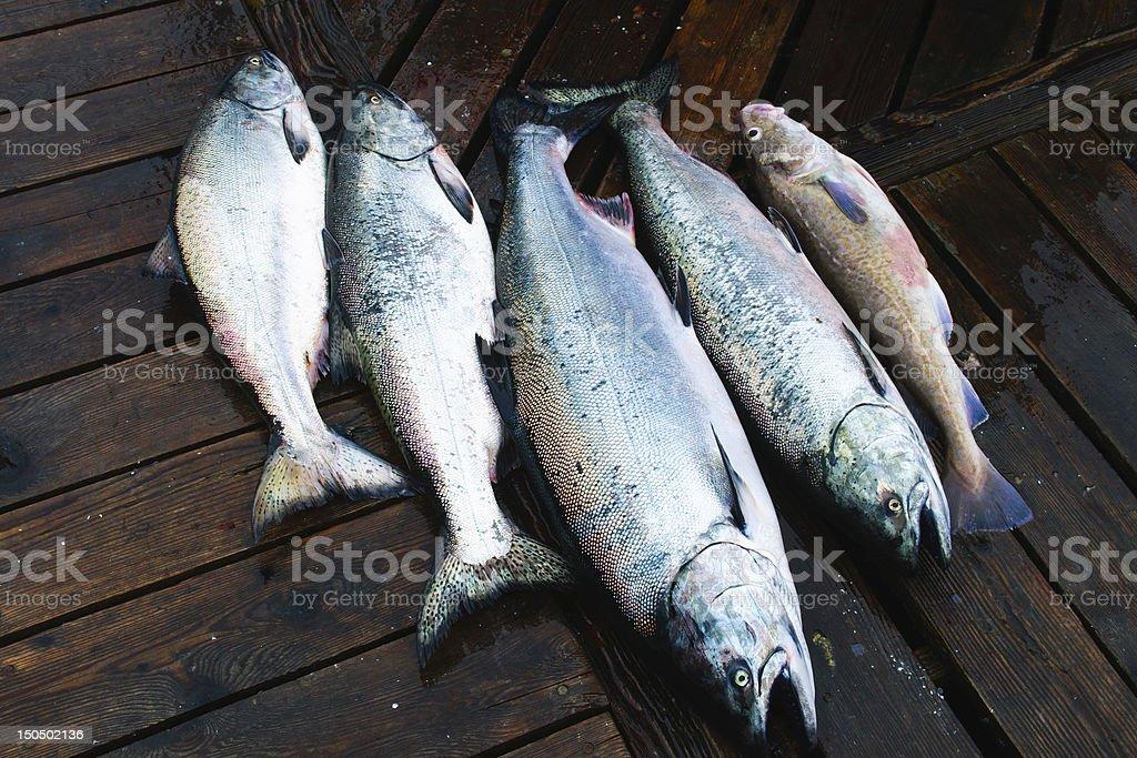 Chinook Salmon royalty-free stock photo