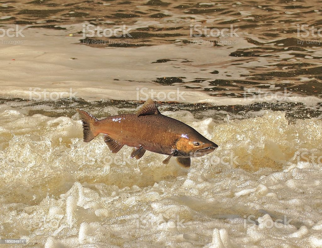 Chinook Salmon stock photo