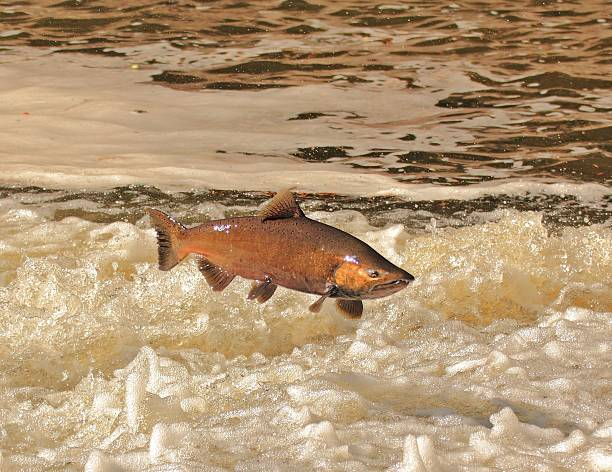 chinook salmon - chinook salmon stock photos and pictures