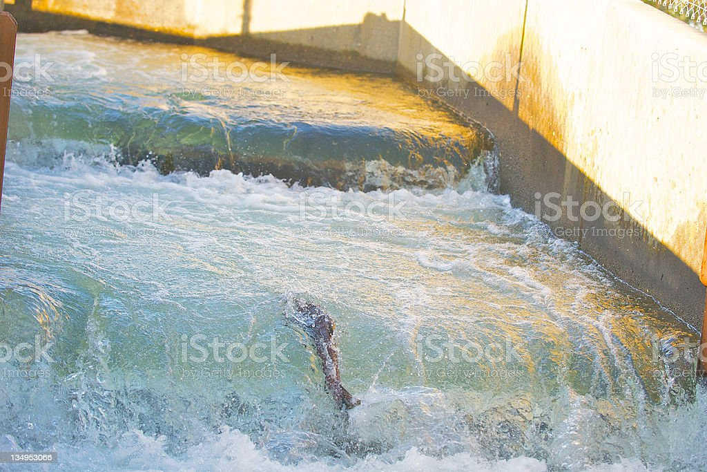 Chinook Salmon swimming up the ladder at hatchery royalty-free stock photo