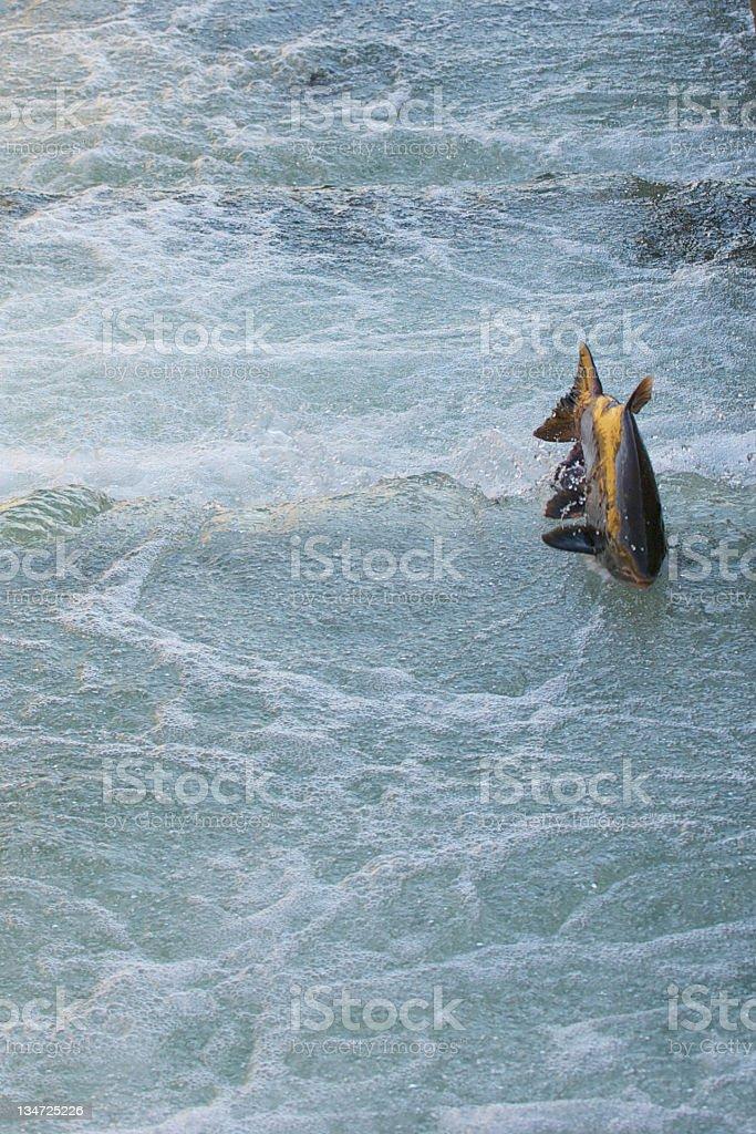 Chinook Salmon swimming up the ladder at Nimbus. royalty-free stock photo