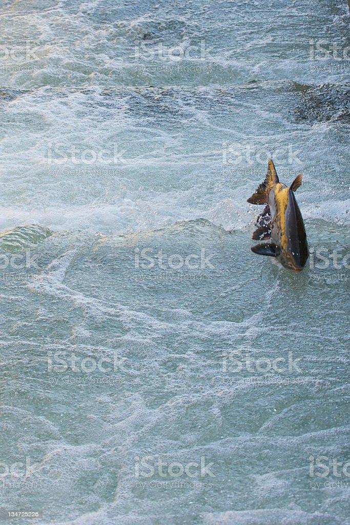 Chinook Salmon swimming up the ladder at Nimbus. stock photo