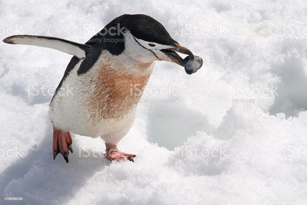 Chinstrap penguin carrying a stone stock photo