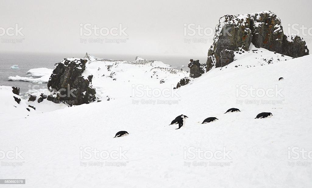 Chinstrap Penguin Colony among Rocks stock photo