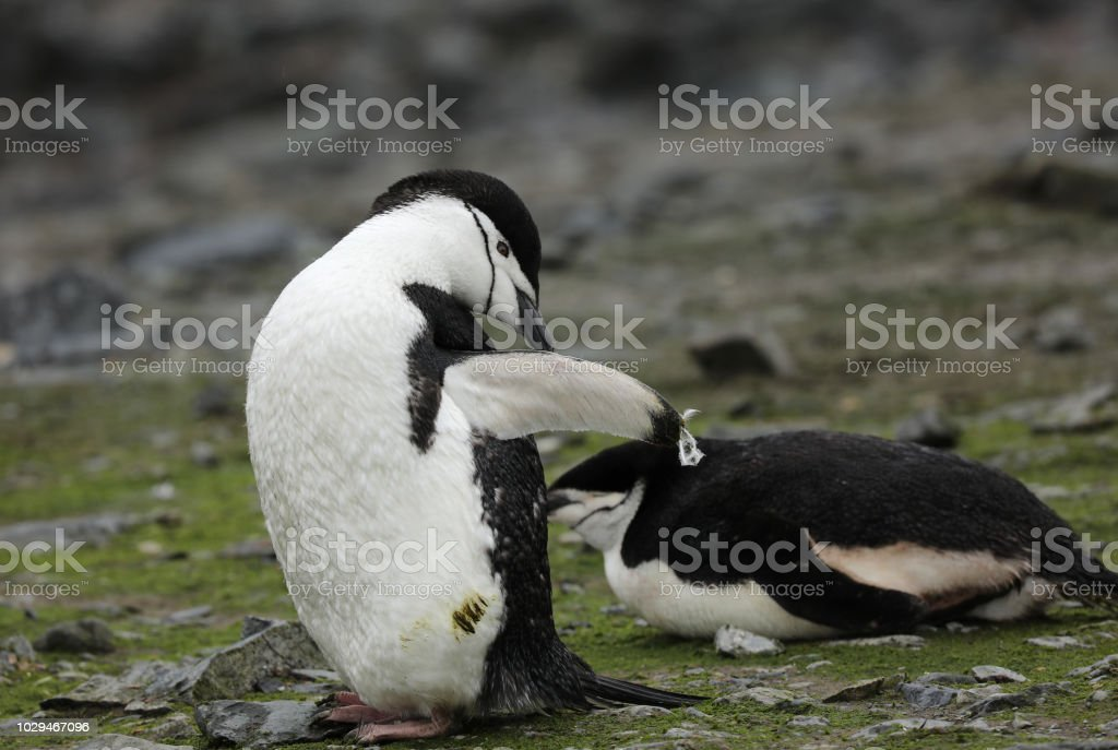 Jugular de pinguins na Antártida - foto de acervo