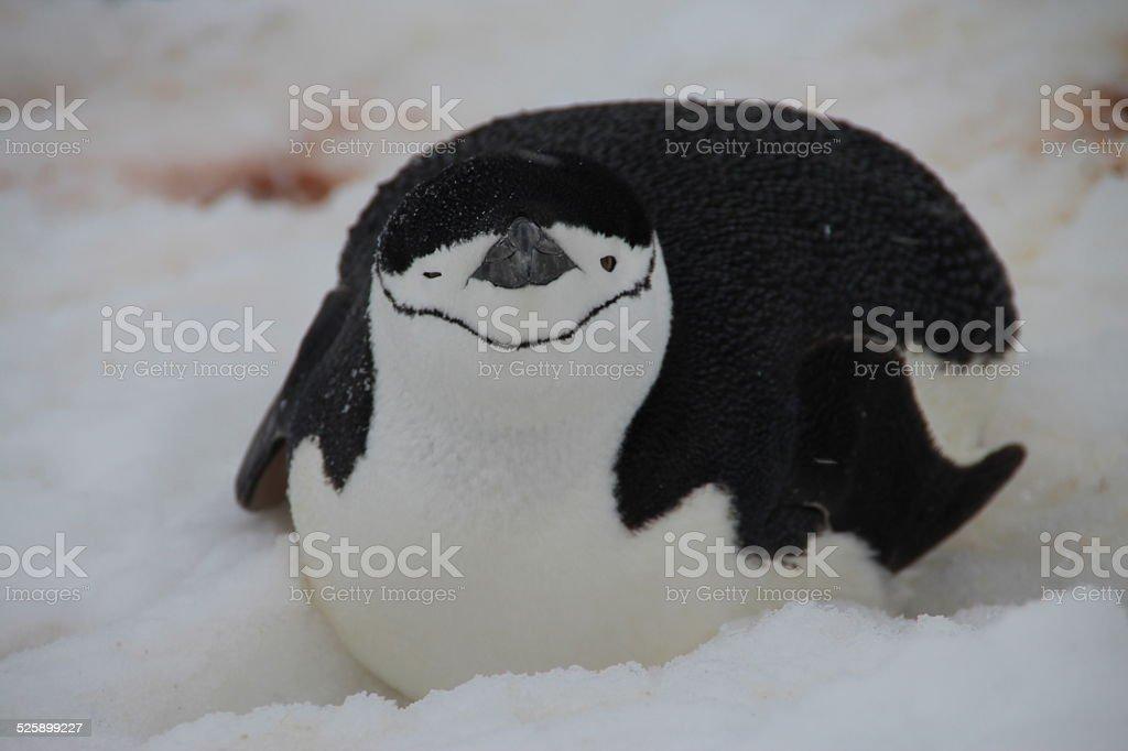 Chinstrap penguin, Half Moon Island, Antarctica stock photo