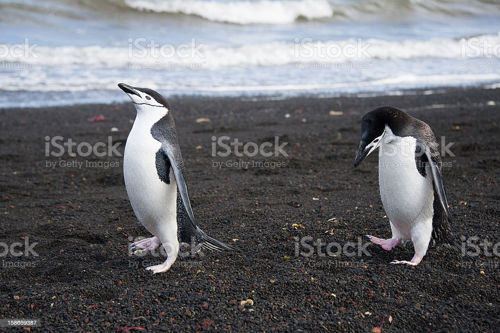 Chinstrap penguin on the beach royalty-free stock photo