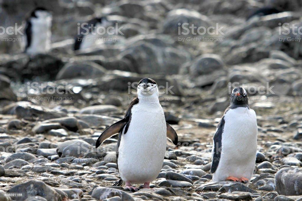 Fotografía de Un Pingüino De Barbijo En La Izquierda Y Un Pingüino A ...