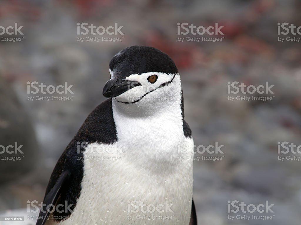 Chinstrap Penguin royalty-free stock photo