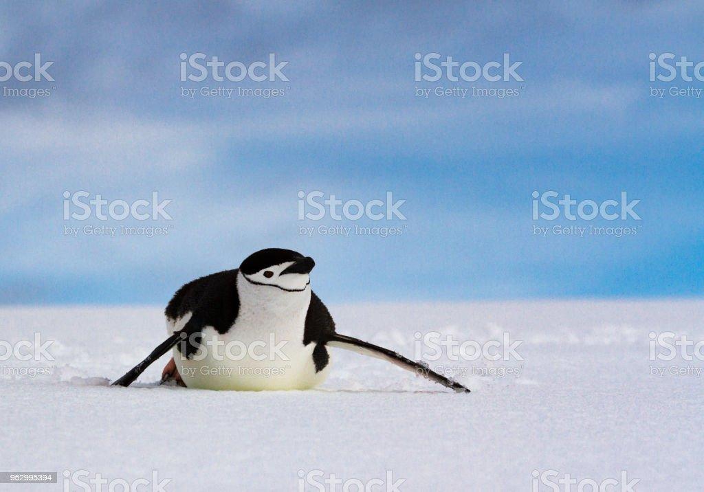 Chinstrap penguin (Pygoscelis antarcticus) sliding on white snow against a blue sky, Antarctica stock photo