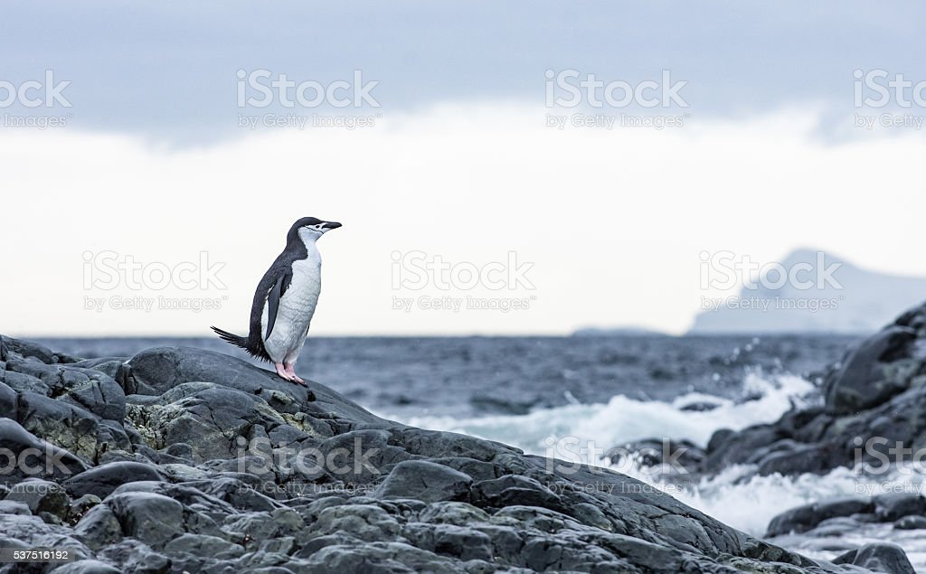 Chinstrap penguin standing on rocks in Antarticta stock photo