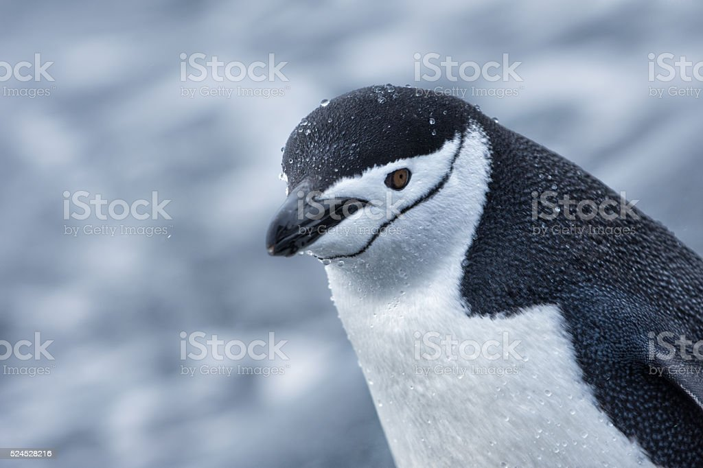 Chinstrap penguin walking in snow in Antarticta stock photo